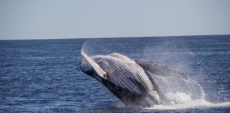 hump back whales fun facts